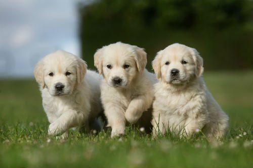 Tre cuccioli di pastore maremmano