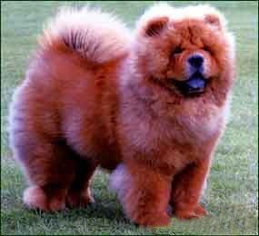 Chow chows breed