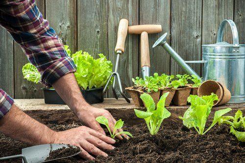 giardinaggio, mani sulla terra che pianta della insalata