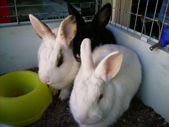 tre conigli svegli con una ciotola verde