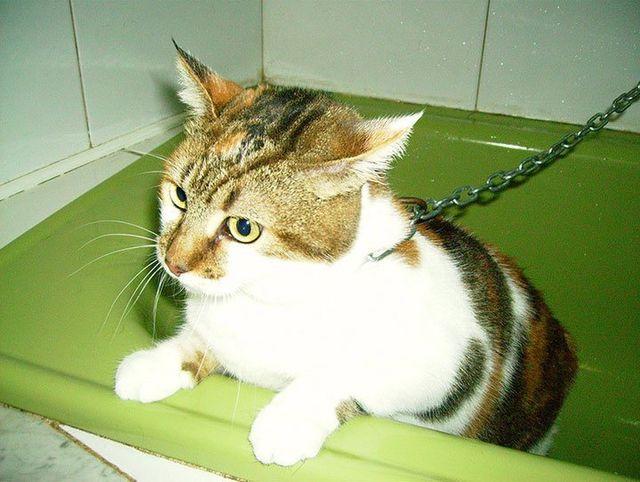 gatto nella vasca per lavaggio antipulci
