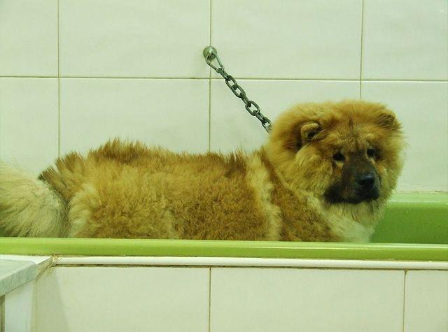 Cane in vasca per  toelettatura