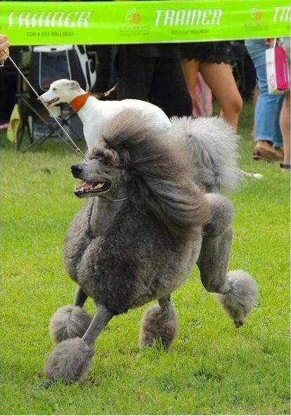 cane che corre durante una gara