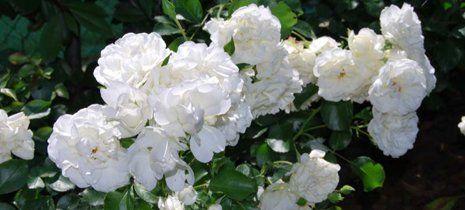 Fiori bianchi nel giardino a Ostra Vetere
