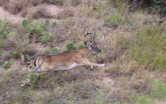 Deer Hunting Dallas, TX