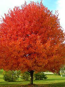 Autumn Fantasy Maple