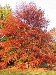 Blackgum Tree