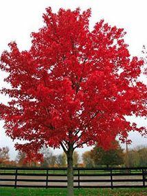 Brandywine Maple