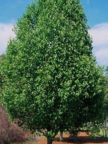 Cleveland Select Pear Tree
