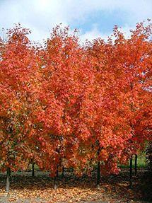 Highland Park Maple