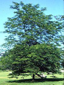 Imperial Locust Tree