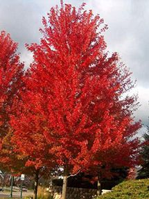 Repointe Maple Tree
