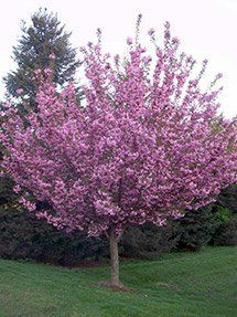 Royal Burgundy Cherry Tree