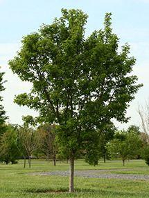 Rugged Charm Maple Tree