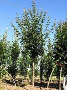 Rugged Ridge Maple Tree