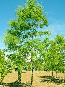 Skyline Locust Tree