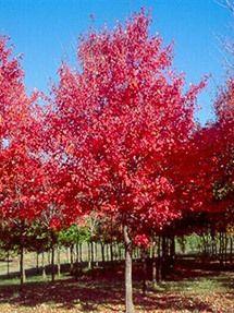 Sun Valley Maple