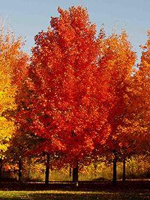 Green Mountain Maple Tree