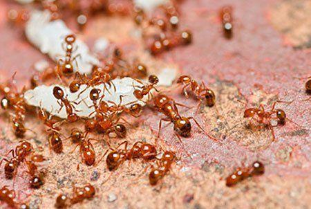 Ant fumigation
