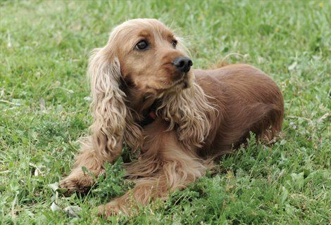 brown coloured  dog