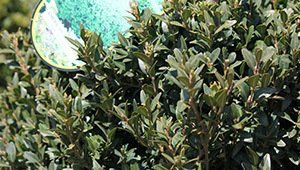 Landscape shrubs