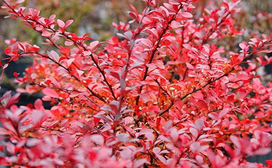 Fall gardening in connecticut shrubs another plant that will pay dividends through the winter is the red twig dogwood this shrub as a variegated leaf with red stems that looks stunning against mightylinksfo
