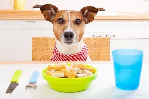 Cane jack russell seduto a tavola con piatto di biscottini specifici davanti