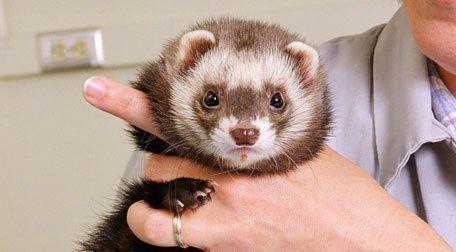 a ferret gazing to camera