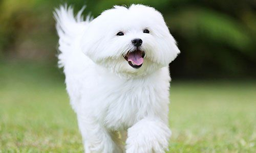 White maltese dog running on green grass