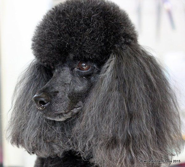 View of a dog before grooming