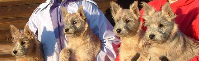Professional breeding and showing of Cairn Terriers