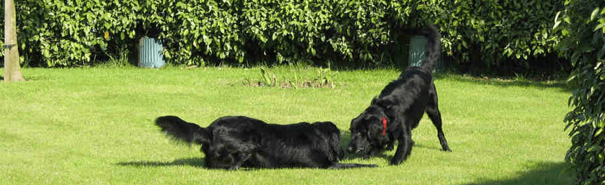 Flatcoated Retrievers from Lindcoly Dog Breeders