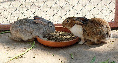 due conigli mangiano da una ciotola
