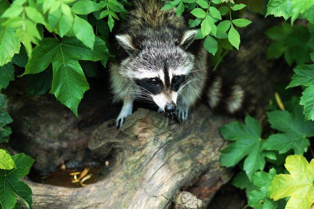 raccoon removal company Massachusetts