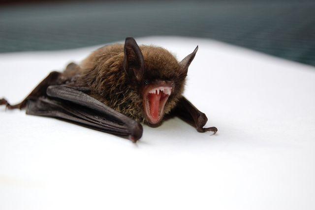 bats removal company Massachusetts